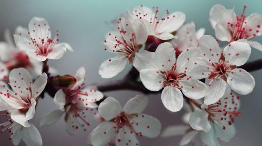Kad su cvetale višnje